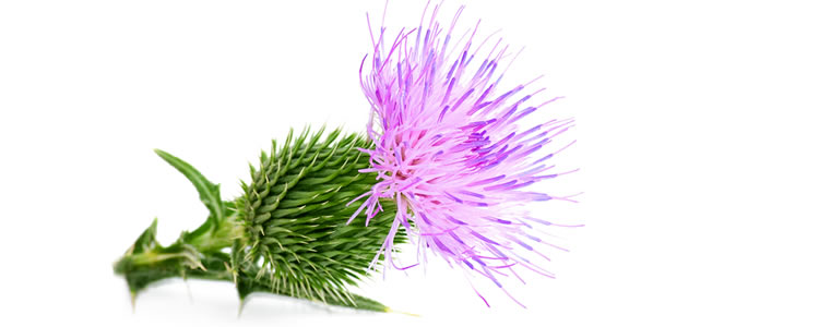 Milk_thistle_rsz