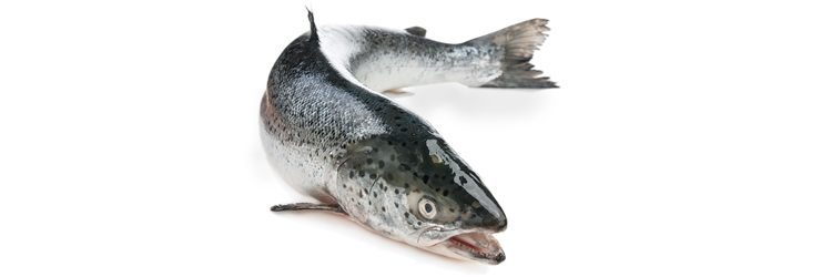 Salmon_rsz